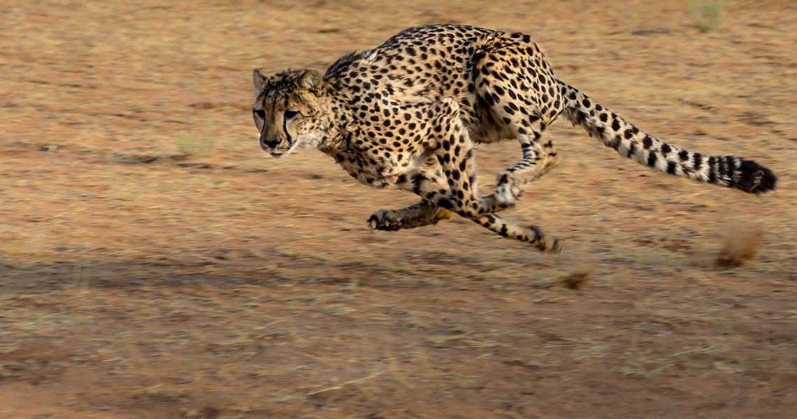 cheetah-2859581_1920